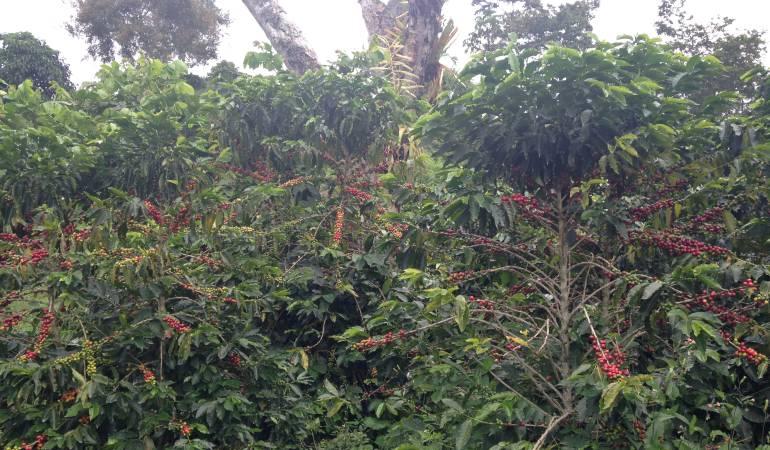 """Fenémeno de El Niño y afectaciones en el café: """"El Niño"""" afecta los afluentes de los cafetales en Caldas"""