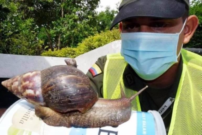 Autoridades hacen control para evitar presencia del caracol africano en Cartagena: Autoridades hacen control para evitar presencia del caracol africano en Cartagena