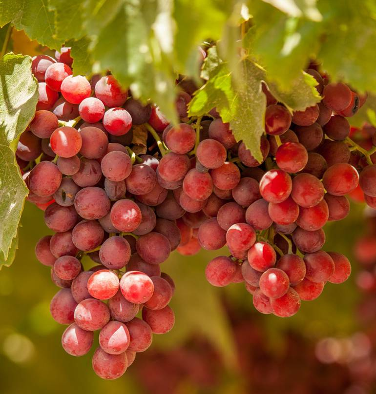 Ingenios Valle: Manuelita se consolida como exportador de uvas en Perú
