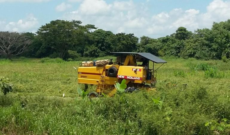 Desperdicio de arroz: Más de 2.000 hectáreas de arroz se pierden en la Mojana por falta de maquinaria
