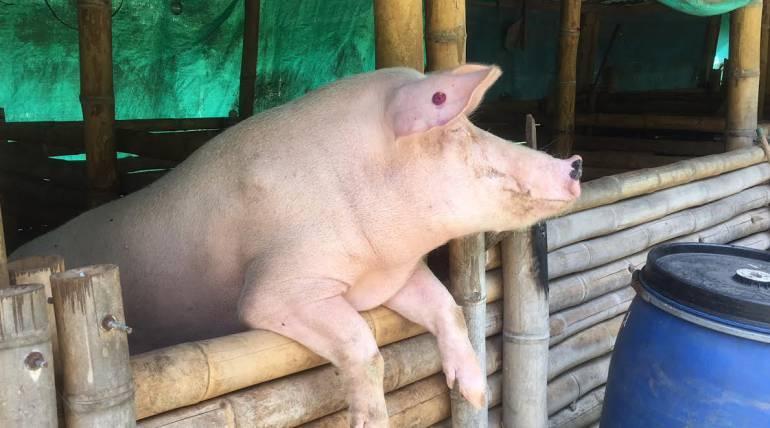 Intensifican controles en 6 zonas de Medellín por venta irregular de cerdos