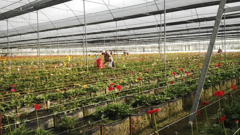 Flores El Capiro de Antioquia: El 'Óscar' mundial de las flores lo recibió empresa de crisantemos en Antioquia