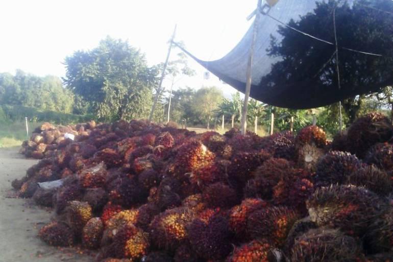 Denuncian presuntas irregularidades en comercialización de palma de aceite en Bolívar: Denuncian presuntas irregularidades en comercialización de palma de aceite en Bolívar