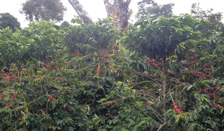 Manizales; Caldas; Café; cultivo: En Europa se degustará el café de Caldas