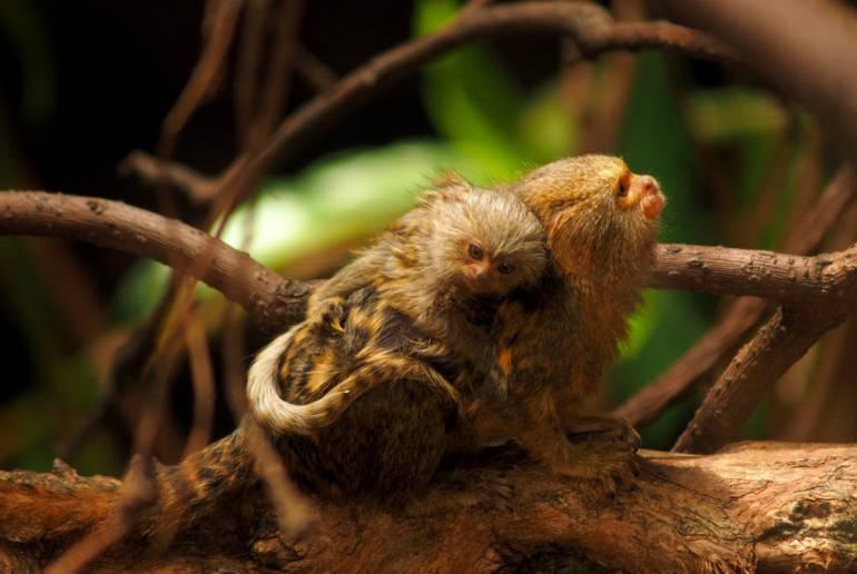 Estos es la especie de monos robados del zoológico.