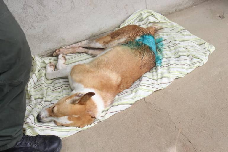 Salvan de la muerte a dos perros que fueron maltratados en Cartagena