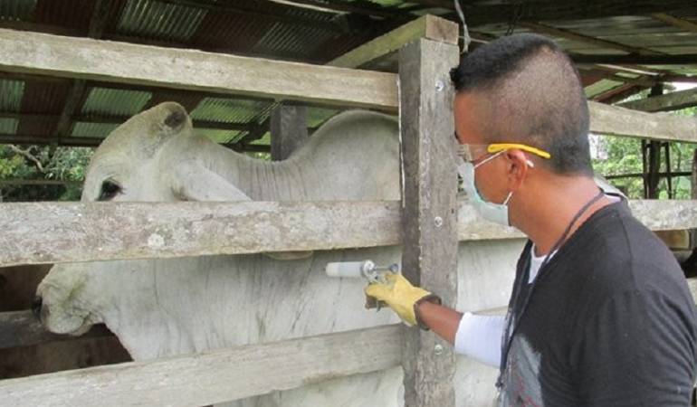 """Preocupación por fiebre aftosa: """"Brote de fiebre aftosa es una tragedia"""": Fedegán"""