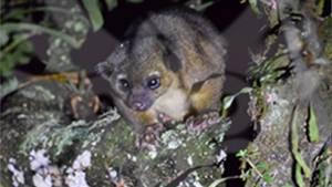 Descubren un Olinguito en Boyacá, mamífero del que no se tenía conocimiento hace 35 años: Descubren un Olinguito en Boyacá, mamífero del que no se tenía conocimiento hace 35 años