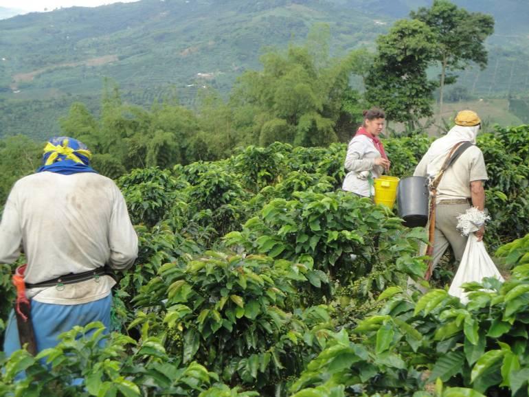 Cosecha cafetera en el Valle 2017: Se buscan doce mil recolectores para cosecha cafetera