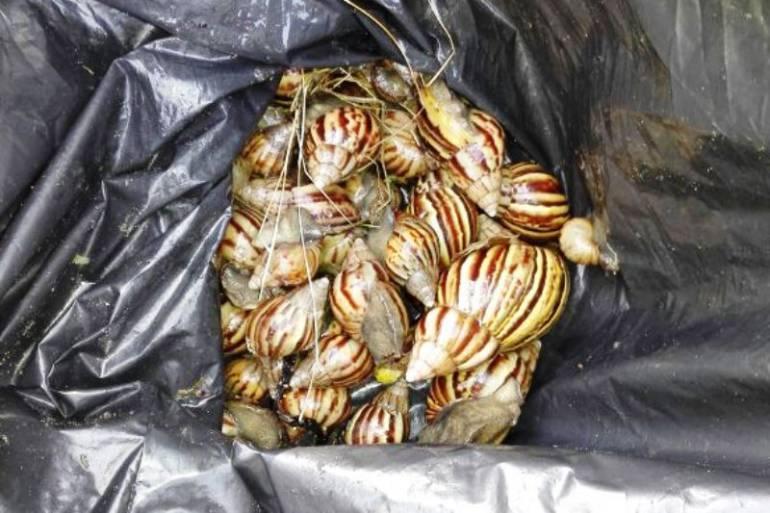 EPA Cartagena no han podido controlar proliferación de caracol africano: EPA Cartagena no han podido controlar proliferación de caracol africano
