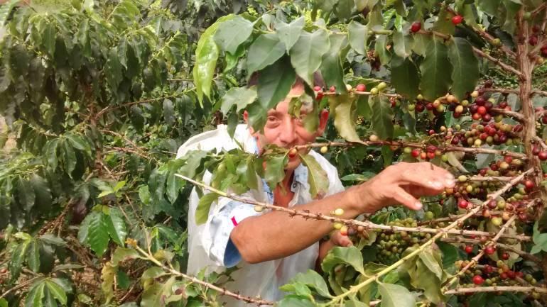 Congreso Cfetero en Manizales: Recolectar café con lonas, otra opción para mayor productividad y rentabilidad