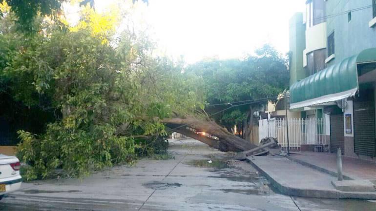 Árbol tumbado por las brisas en Santa Marta. /FOTO CARACOL RADIO