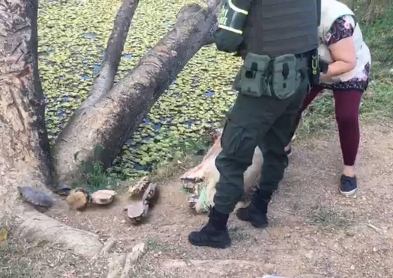 Rescatan 600 hicoteas que serían comercializadas en Bolívar: Rescatan 600 hicoteas que serían comercializadas en Bolívar