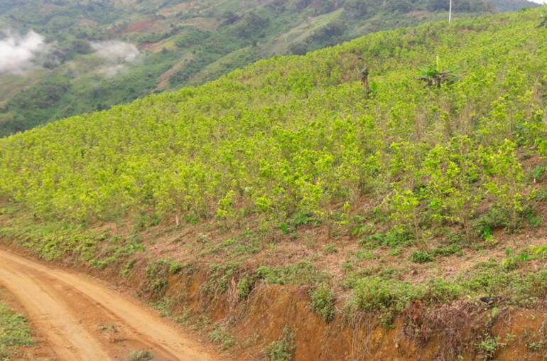 Antioquia, disminuido, cultivos, ilícitos: Antioquia ha disminuido los cultivos ilícitos en un 45%