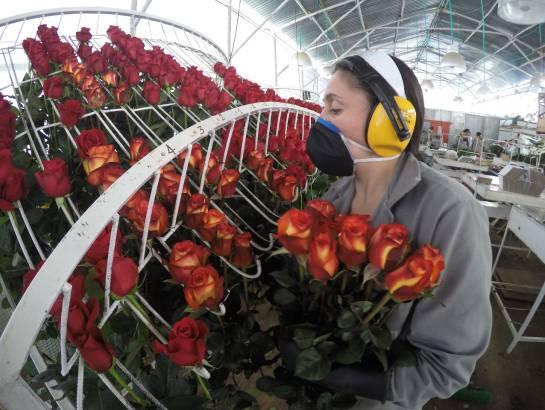 Boyacá exporta rosas para celebración de San Valentín en Estados Unidos: Boyacá exporta rosas para celebración de San Valentín en Estados Unidos