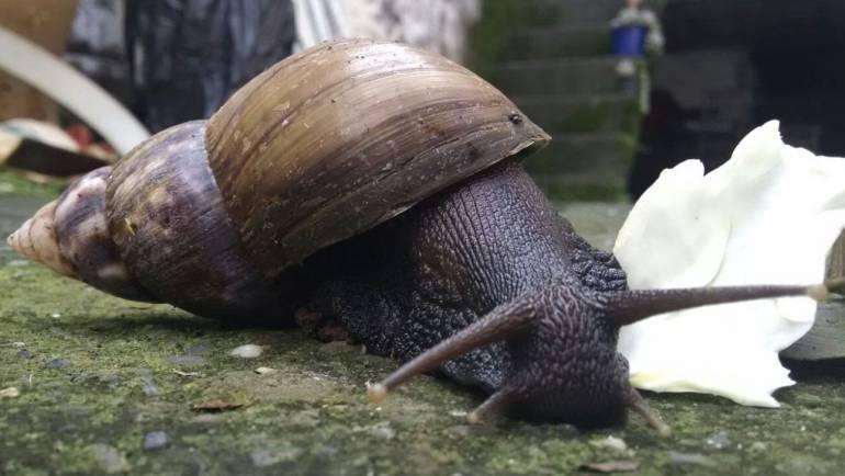 Siguen las problemáticas por la proliferación de los caracoles africanos