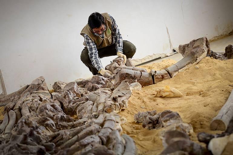 Entregaron el fósil de reptil marino más grande del mundo en Boyacá: Entregaron el fósil de reptil marino más grande del mundo en Boyacá