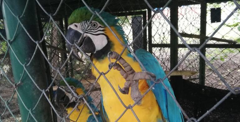 Viaje al Corazón del Caribe: Más de 120 especies son víctimas de tráfico animal en el Cesar