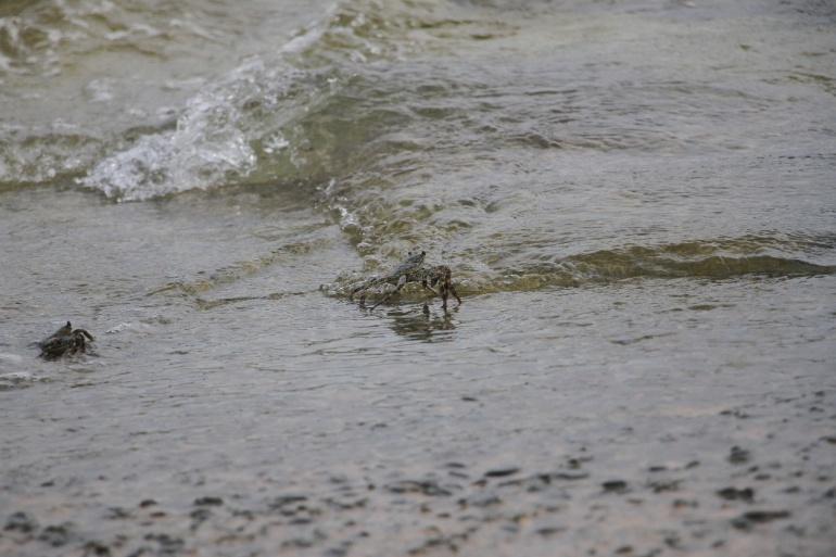 Cangrejo negro en las playas de San Andrés