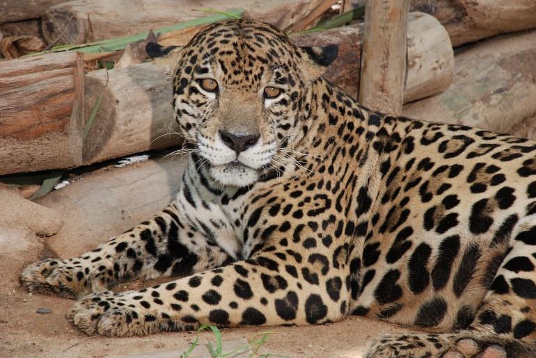 El Jaguar es uno de los animales que se encuentran en vía de extinción.
