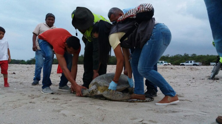 Momento de la liberación de la tortuga verde.