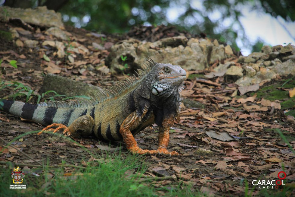 Las iguanas hacen parte del paisaje y se pasean en las zonas verdes del parque.