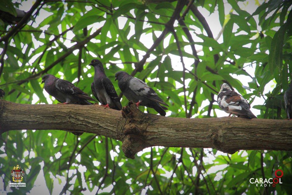 Las palomas se reposan en los árboles que se encuentran ubicados en el parque