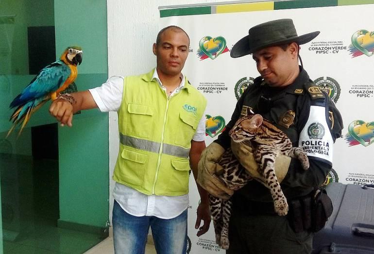 Rescatan un tigrillo y una guacamaya en un hotel de Cartagena: Rescatan un tigrillo y una guacamaya en un hotel de Cartagena
