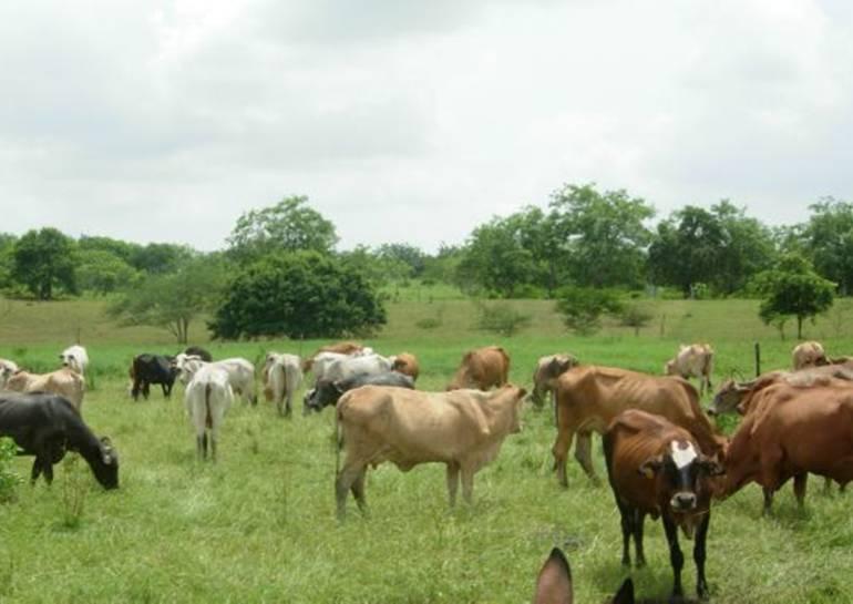 Inicia el primer ciclo de vacunación al ganado en norte de Bolívar: Inicia el primer ciclo de vacunación al ganado en norte de Bolívar
