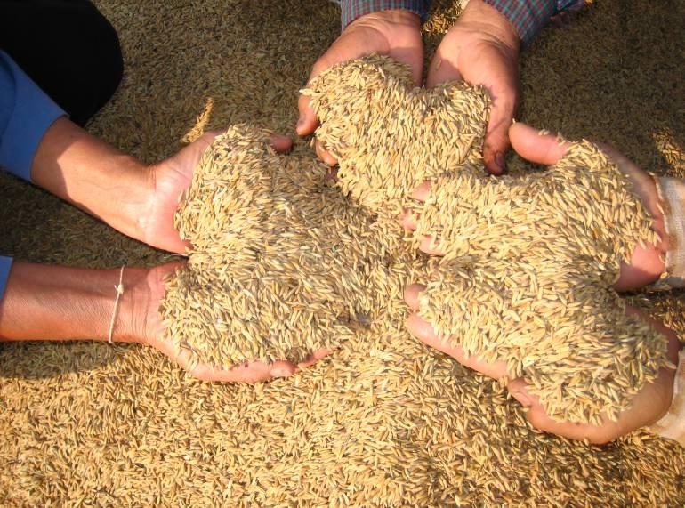 Arroceros del Tolima confían en un reajuste del precio de carga del cereal
