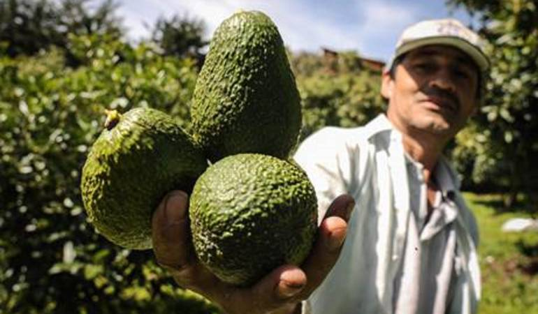 Aguacate hass, siembra, exportación, pequeños productores: En Caldas se sembrarán 500 hectáreas de aguacate hass tipo exportación
