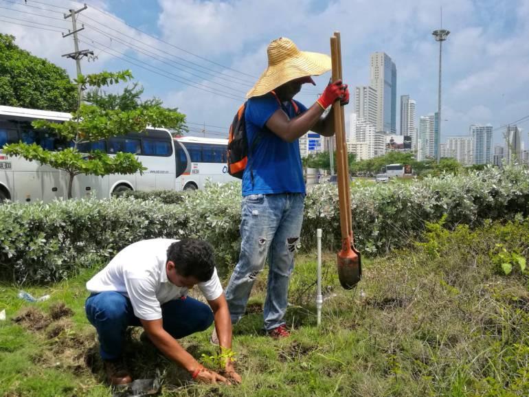 Siembran 12.000 plantas ornamentales para recuperar zona verde en Cartagena