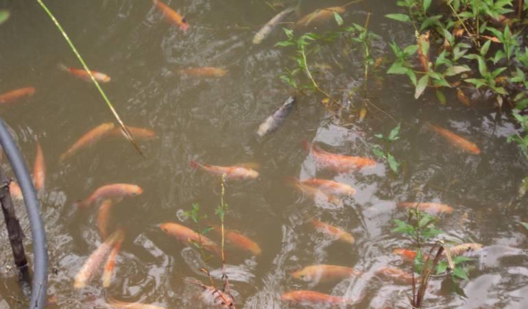 Desmovilizados crean empresa piscícola en el Huila