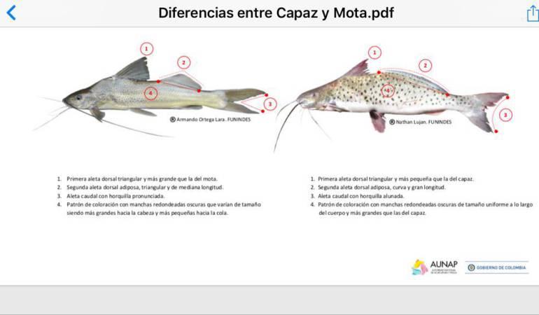 Alerta por la venta y consumo de pez mota en Cundinamarca | Bogotá ...