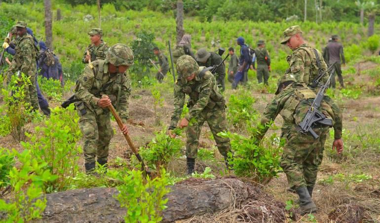 marihuana: Inició pago a las familias de Tumaco por sustitución de cultivos ilícitos