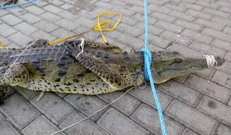 Atrapan a un cocodrilo en las playas de San Andrés