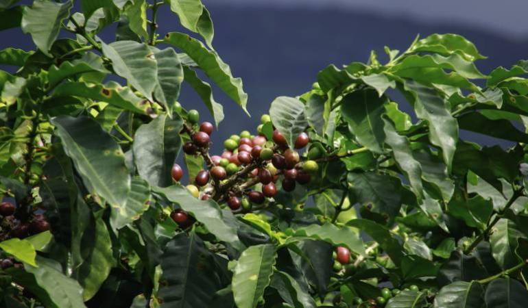 Cafeteros, producción, economía, fondo de estabilización de precios: Sin recursos del Gobierno es complejo estabilizar el precio del café