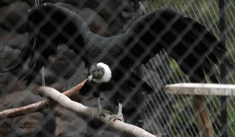 Cóndores intoxicados: Cóndores en Santa Marta murieron intoxicados por pesticidas