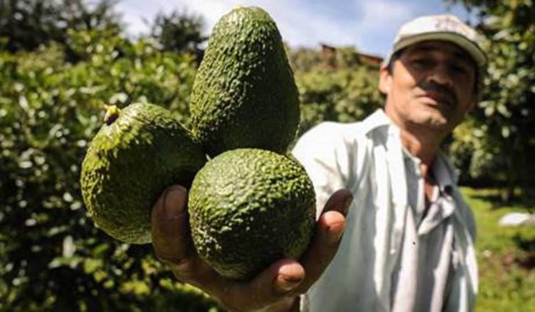 Aguacate hass que se produce en Colombia