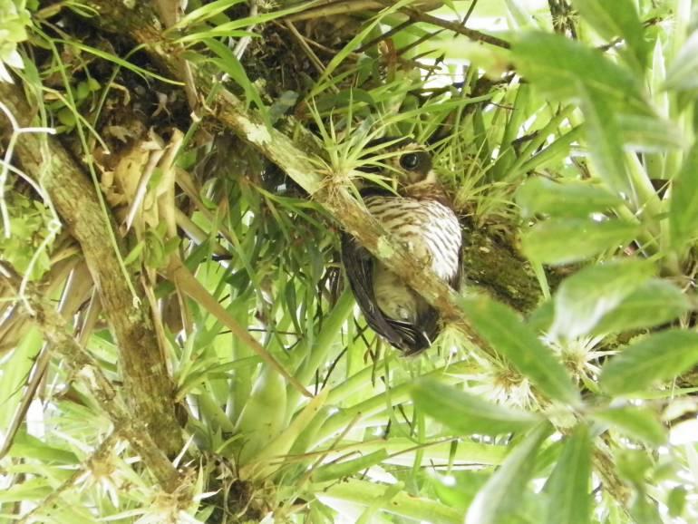 Registran una nueva especie de Búho en el suroriente de Boyacá: Registran una nueva especie de Búho en el suroriente de Boyacá