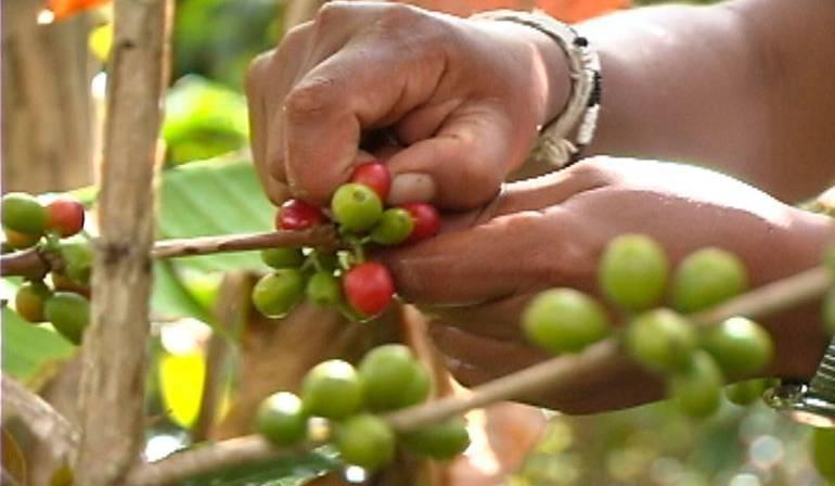 CAFÉ: La producción cafetera creció en el Huila