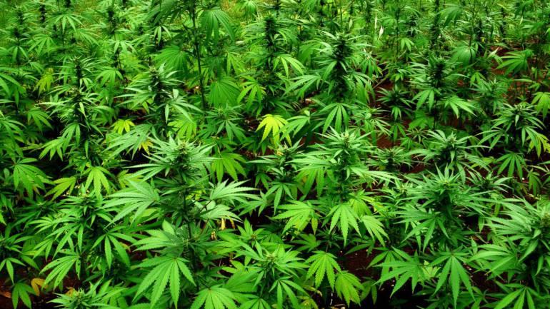 En Neiva se construirá planta para el proceso de Cannabis