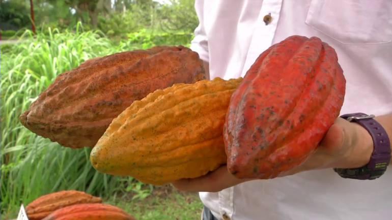 Franceses quieren exportar cacao orgánico del Huila