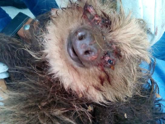ANIMAL, OSA PEREZOSA, ATAQUE, MUERTE: Muere osa perezosa atacada con escopeta de perdigones