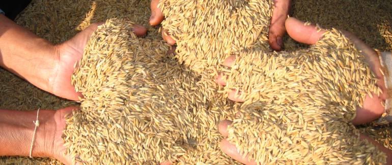 Hidroituango, Caucasia: Crisis Hidroituango: bajo Cauca dejó de sembrar 18 mil hectáreas de arroz