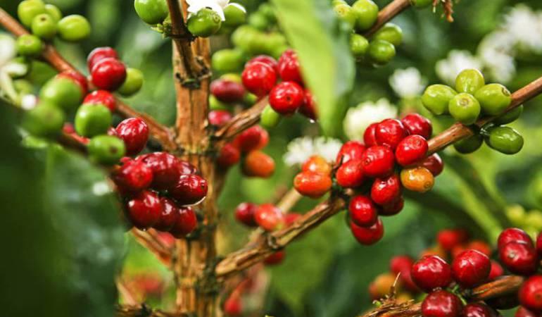 Aumenta la crisis del café a menos de un mes para la principal cosecha