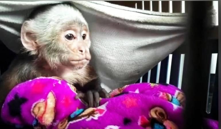 Mono silvestre: Recatan un mono silvestre en Bogotá