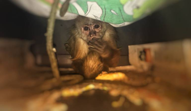 Rescatan mico Bogotá: Rescatan a un mico que llevaba 26 años en cautiverio en el sur de Bogotá