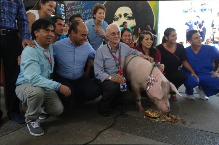 investigación, trasplante y cerdo: Un cerdo cumple un año de recibir un trasplante de órgano exitoso.