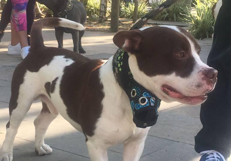 Puñalada, perro, mataron, Copacabana: De 32 puñaladas, mujer mata un perrito en Copacabana
